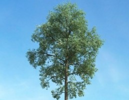 درخت بلوط