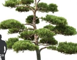 درخت کاج بونسای