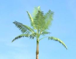 درخت Dictyosperma_album
