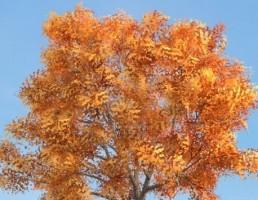 درخت Fraxinus