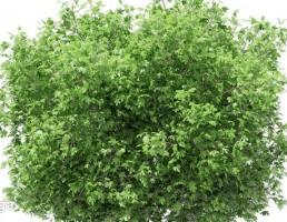 درخت آووکادو