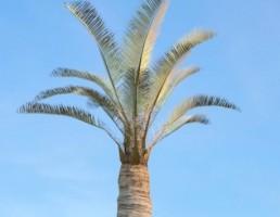 درخت _Jubaea_chilensis
