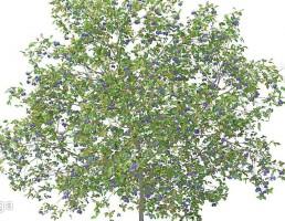 شکوفه درخت هلو