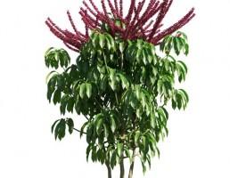 درخت Schefflera actinophylla