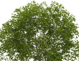 درخت با برگهای سبز
