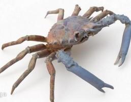 خرچنگ عنکبوتی