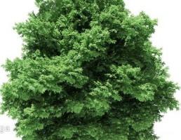 درخت افرا
