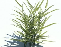 گیاه فالاریس
