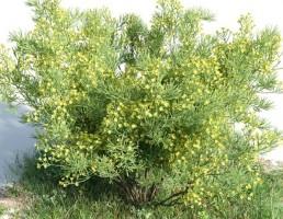 درخت Senna artemisioides