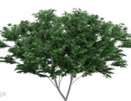 درخت وحشی