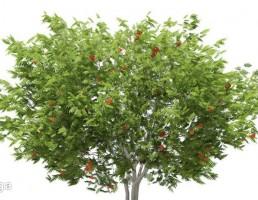 درخت  + میوه