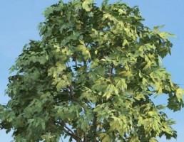 درخت Staphyella_pinnata