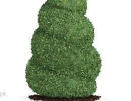 درخت کاج مارپیچی
