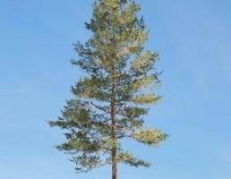 درخت Loblolly_Pine