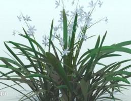گیاه باغی Anthericum ramosum