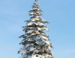 درخت Picea