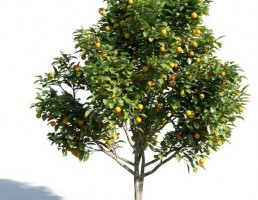 درخت Citrus sinensys
