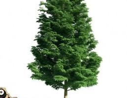درخت Cupressoncyparis leylandii