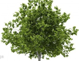 درخت کاج