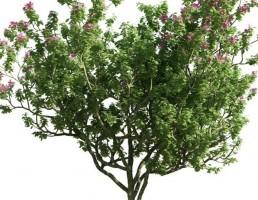 درخت Bauhinia blakeana
