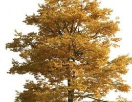 درخت زرد رنگ