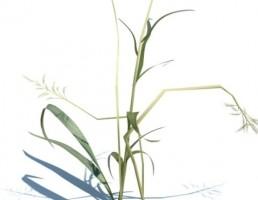 گیاه Phalaris arundinacea