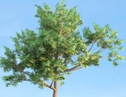 درخت Sassafras