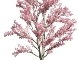درخت Cassia bakeriana