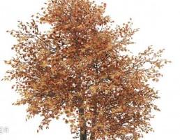 درخت افرا در پاییز