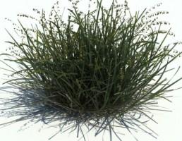 گیاه ملیکا