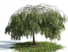 درخت بید مجنون