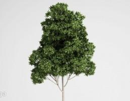 درخت گرمسیری