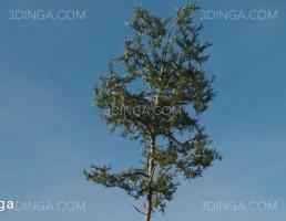 درخت کاج اسکاتلندی