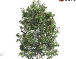 درخت سمان کوهی