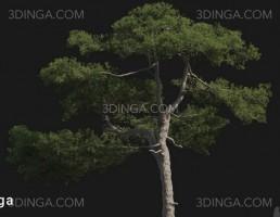 درخت Pinus taiwanensis