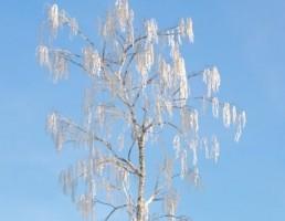 درخت Betula