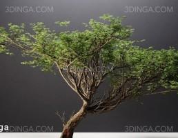 درختچه اقاقیا