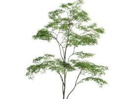 درخت حنگلی