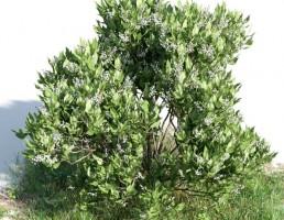 درخت Melia azedara