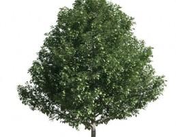 درخت Populus alba pyramidalis