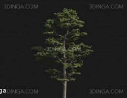 درخت Pinus sylvestris