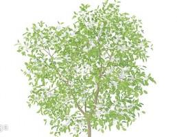 شکوفه درخت گلابی