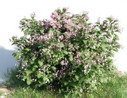 بوته Catharantus rosea
