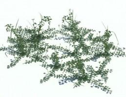 گیاه کنولولوس