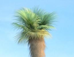 درخت Washingtonia_filifera