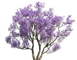 درخت Jacaranda mimosifolia