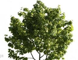 درخت پهن برگ