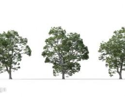 درخت Castanea sativa
