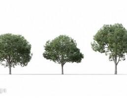 درخت Celtis Australis