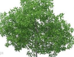 درخت آلو